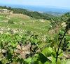 Wijnstreek Samos