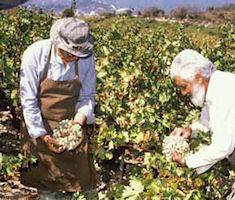 Wijndruiven op Cyprus