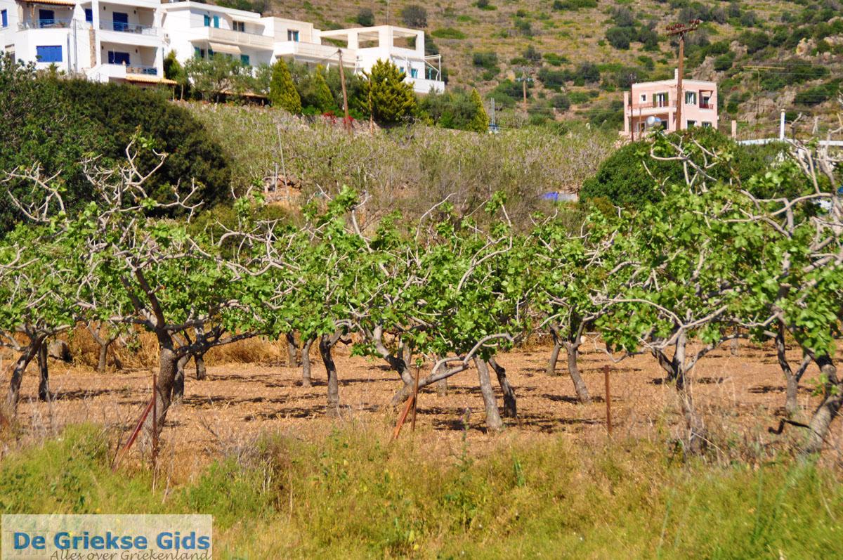 foto Pistache bomen Aegina | Marathonas | De Griekse Gids 1