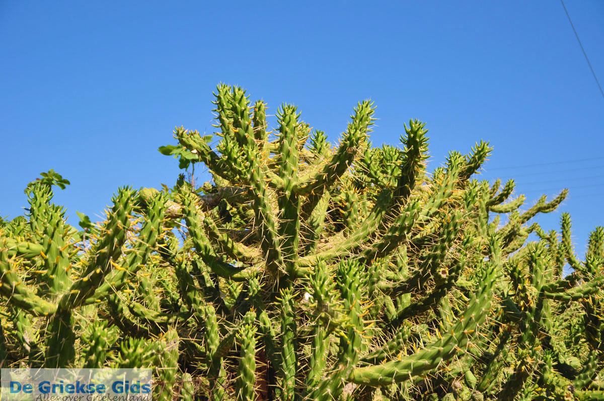 foto Marathonas Cactusplanten   Aegina   De Griekse Gids 2