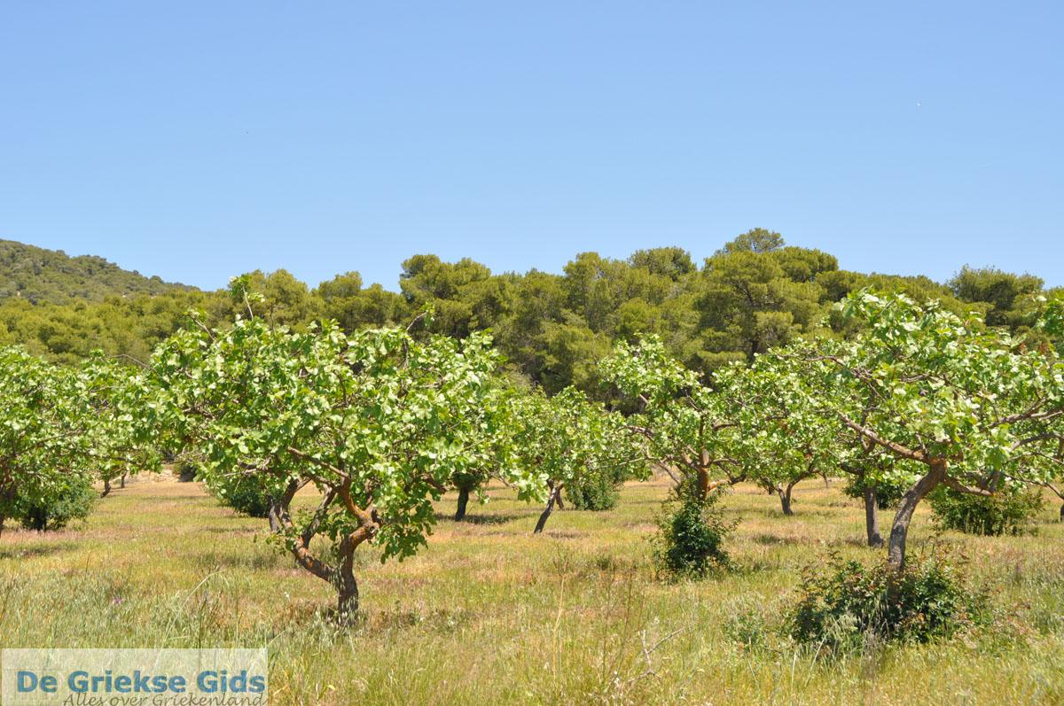 foto Pistache bomen bij Palaiochora | Aegina | De Griekse Gids foto 2