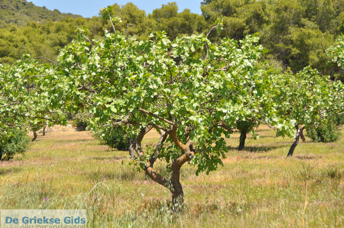 foto Pistache bomen bij Palaiochora | Aegina | De Griekse Gids foto 3