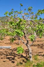 Pistache bomen Aegina | Marathonas | De Griekse Gids 2 - Foto van De Griekse Gids