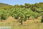 Pistache bomen bij Palaiochora | Aegina | De Griekse Gids foto 1 - Foto van De Griekse Gids