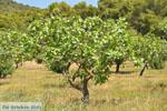 Pistache bomen bij Palaiochora | Aegina | De Griekse Gids foto 3 - Foto van De Griekse Gids
