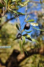 Olijfboom bij Steni Vala Alonissos | Sporaden | De Griekse Gids - Foto van De Griekse Gids