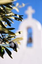 Olijfboom bij kerje Agios Petros Steni Vala Alonissos | Sporaden | De Griekse Gids - Foto van De Griekse Gids