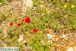 Bloemen in Penteli bij Athene | Atheense Riviera | Attica - Foto van De Griekse Gids