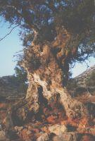 Oude olijfboom - Foto van Arthur van Haarlem