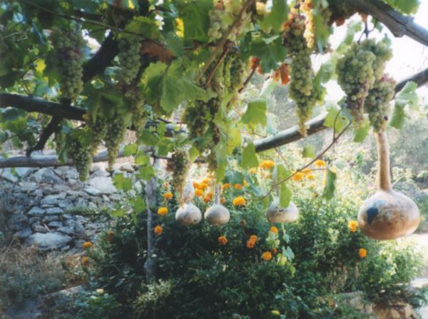 Samos - druiven. Foto van Diana Lint.