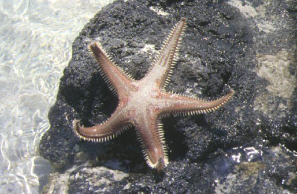 Zeester op Elafonissi - Z-W-Kreta