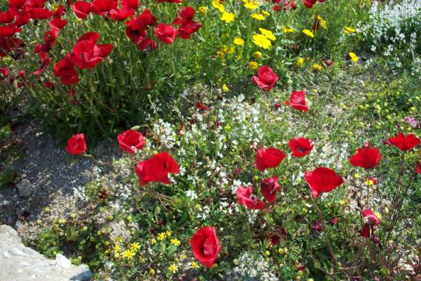 Bloemenpracht op Mykonos