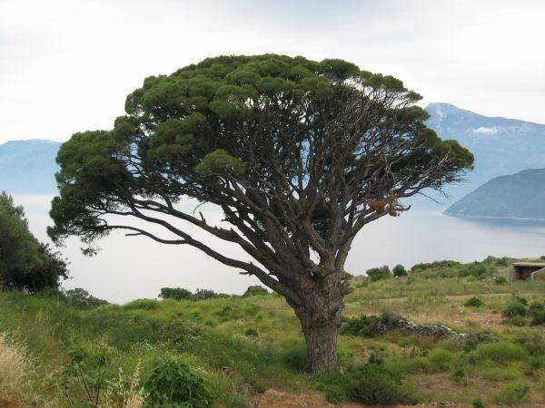 Mooie boom op Samos