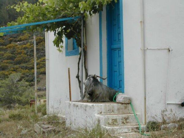 Geitenbok wacht op zijn baas! Karpathos