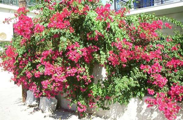 Samos bloemen Pythagorion