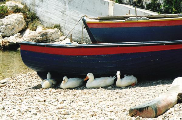 Eendjes in Griekenland