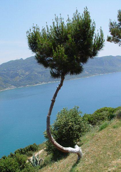 Oost Corfu, een gekke boom!