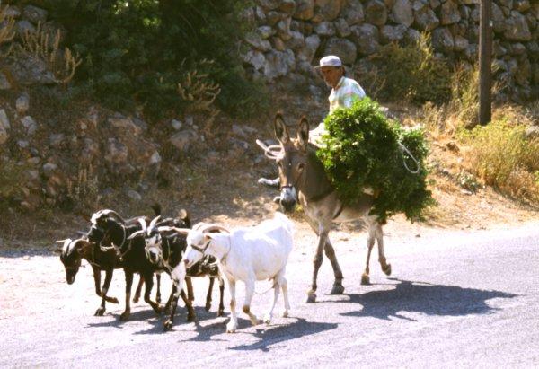 Typisch Kreta en Griekenland - Boer op ezel en geitjes eromheen!