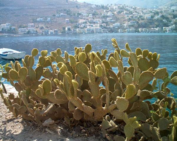 Symi cactussen