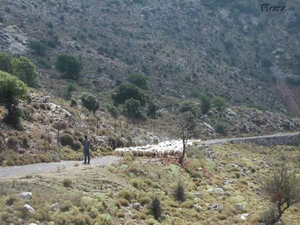 Kreta herder. Foto gemaakt door Fabienne