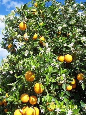 Sinaasappelboom