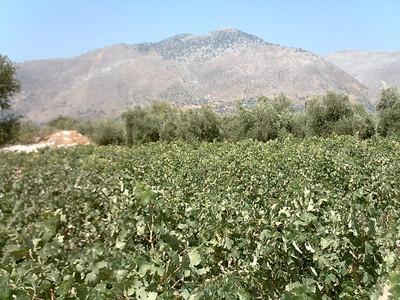 Op de voorgrond druivenboompjes.