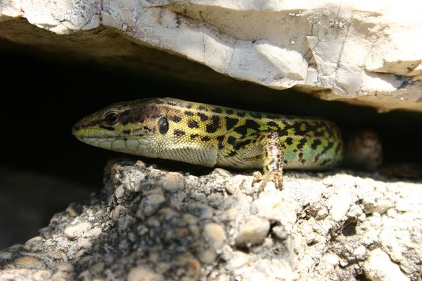 Lizards all around - Foto van Alexander