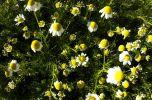 GriechenlandWeb.de rocket flowers - Foto nyklyn