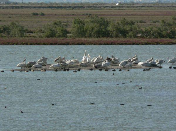 Een groep pelikanen in de Evrosdelta. - Foto van Anna
