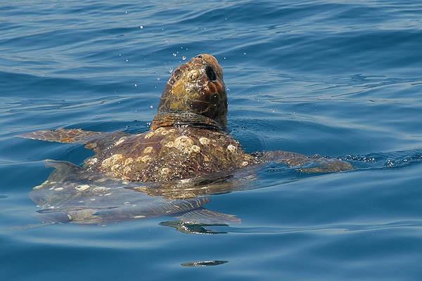 Zeeschildpad; caretta caretta