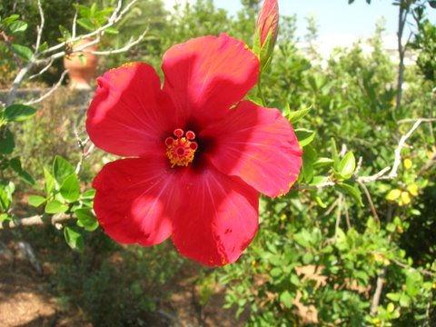 foto Hibiscus