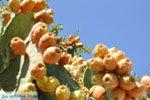 Cactusvijgen bij Taverna de Belgen in Vori | Zuid Kreta | De Griekse Gids foto 3 - Foto van De Griekse Gids