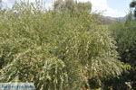Olijfboom in Matala | Zuid Kreta | De Griekse Gids foto 127 - Foto van De Griekse Gids