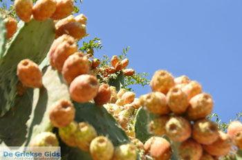 Cactusvijgen bij Taverna de Belgen in Vori | Zuid Kreta | De Griekse Gids foto 3 - Foto van https://www.grieksegids.nl/fotos/eiland-kreta/fotos/zuidkreta/normaal/zuid-kreta-grieksegids-1101.jpg
