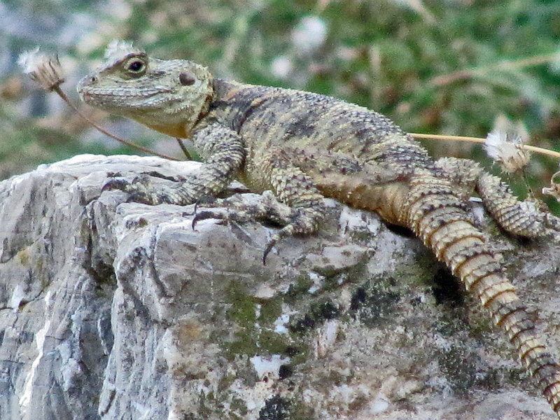 foto Salamander in Anavatos | Chios - De Griekse Gids