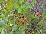 Zwarte bessen Noord-Chios | De Griekse Gids - Foto van Doortje van Lieshout