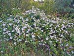 Jasmijn - Bloemen | Chios - De Griekse Gids - Foto van Doortje van Lieshout