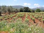 Robola wijnstreek - Kefalonia - Foto 263 - Foto van De Griekse Gids