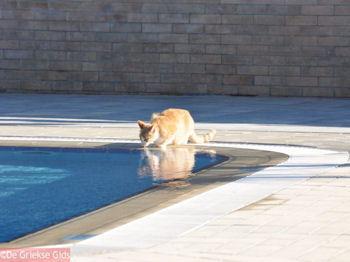 Poesje drinkt water uit zwembad - Mediterranee Hotel - Kefalonia - Foto 314 - Foto van https://www.grieksegids.nl/fotos/eilandkefalonia/Eiland-Kefalonia-314-mid.jpg