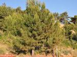 Dennebomen Lassi - Kefalonia - Foto 503 - Foto van De Griekse Gids