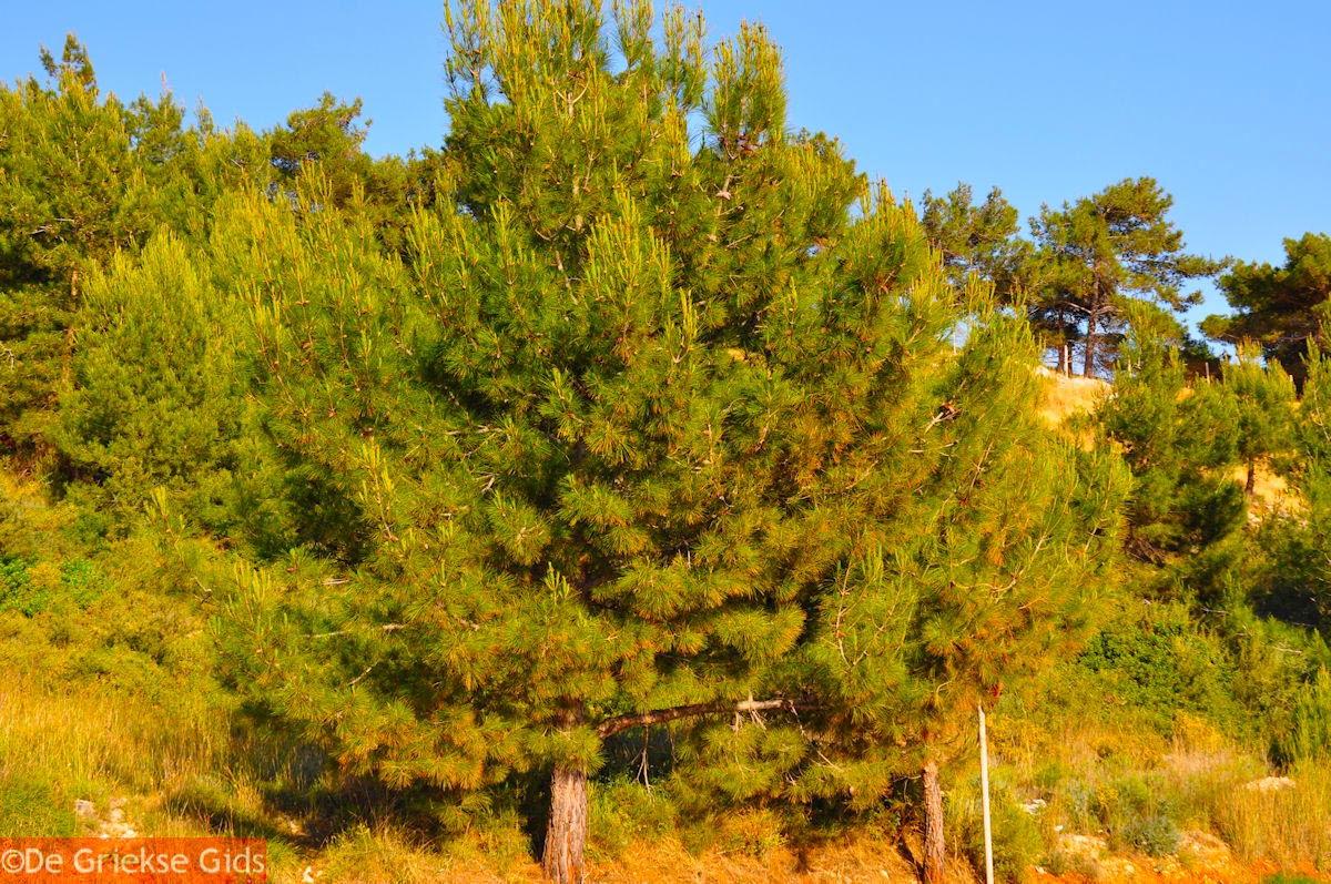foto Dennebomen Lassi - Kefalonia - Foto 503