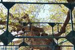 Hippocrates plataan | Kos stad | Griekenland foto 2 - Foto van De Griekse Gids