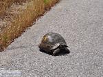 Schildpad nabij Skoutaros op de weg Antissa-Anaxos