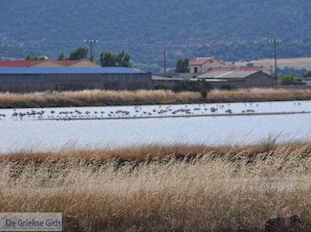 Beschermd natuurgebied voor vogels baai van Kalloni (Lesbos) foto 3 - Foto van https://www.grieksegids.nl/fotos/eilandlesbos/350pixels/eiland-lesbos-foto-010.jpg