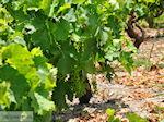 Druiven langs de weg van Marathokampos naar Karlovassi - Eiland Samos