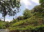 Wijngaarden op de route Agios Konstandinos - Manolates - Eiland Samos - Foto van De Griekse Gids