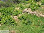 Papavers en wijngaarden in Manolates - Eiland Samos - Foto van De Griekse Gids