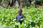 Mr Apostolos Lykos van wijnproducent van de firma Lykos | Evia Griekenland | De Griekse Gids - foto 002 - Foto van De Griekse Gids
