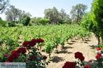 Wijngaarden tussen Lefkandi en Eretria | Evia Griekenland ) De Griekse Gids  - foto 001 - Foto van De Griekse Gids