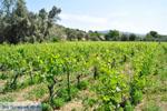 Wijngaarden tussen Lefkandi en Eretria | Evia Griekenland ) De Griekse Gids  - foto 004 - Foto van De Griekse Gids